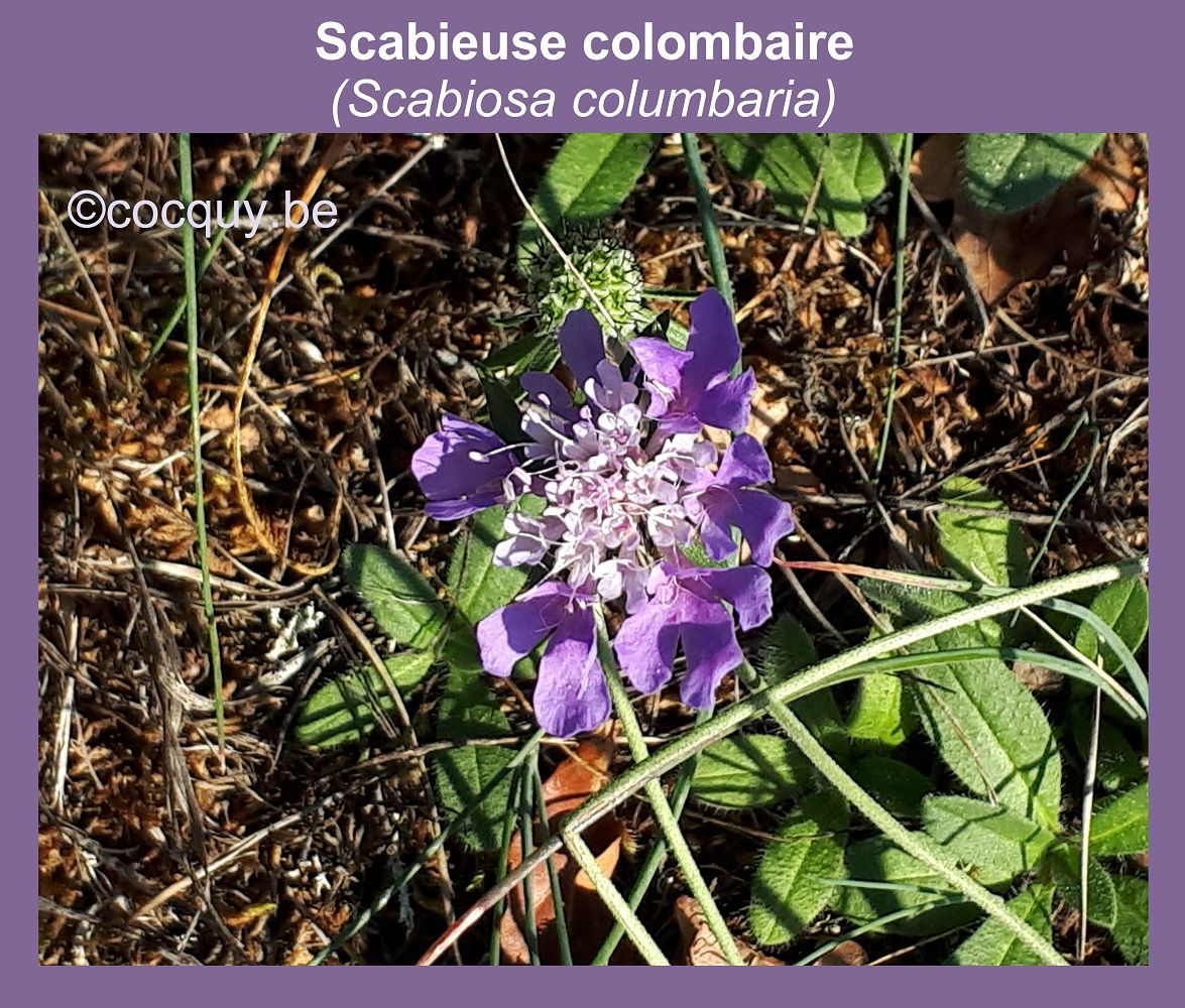 Scabieuse colombaire