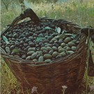 Olives : fruits de l'arbre de paix